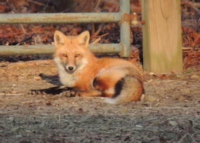 fox_144