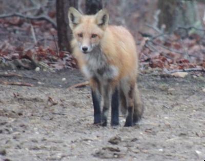 fox_145